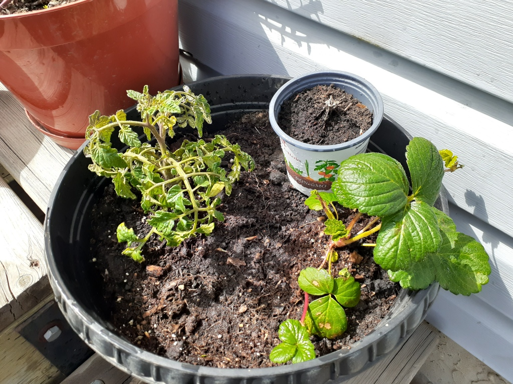 An overhead view of a flower pot containing a tomato plant, a smaller flowerpot with a weed sprouting from it, and a strawberry plant.