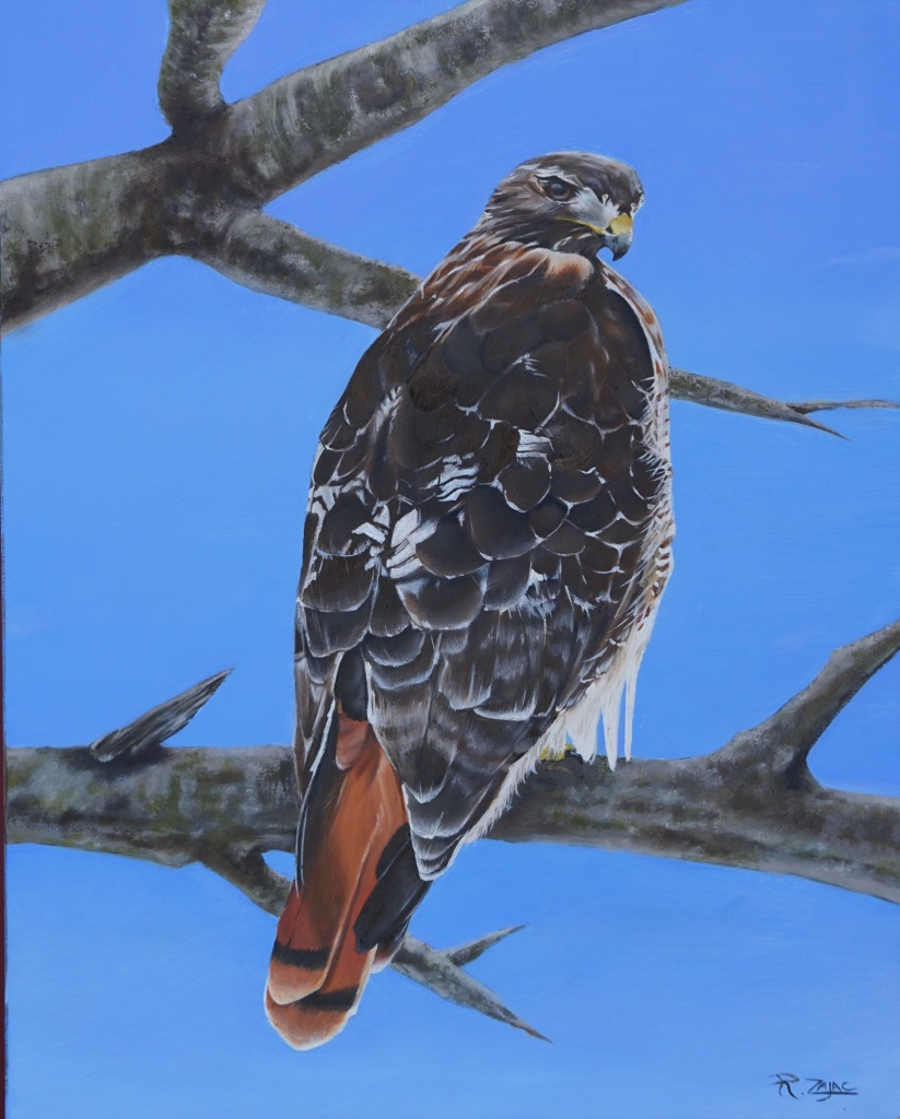 A hawk is depected upon a solid blue background. the hawk has a yellow beak with a grey tip. Its feathers are mostly shades of brown and white, and its tail feathers are orange. The hawk is perched on a tree branch.